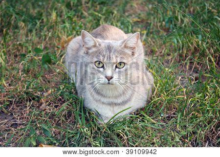 gato cinzento na grama Outono