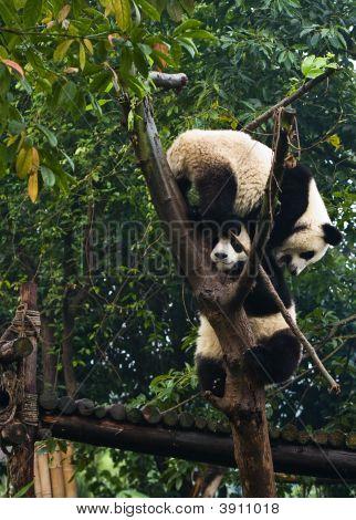 Ursos Panda Climbing