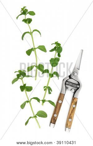Pennyroyal herb leaf sprigs with rustic secateurs over white background. Lamiaceae