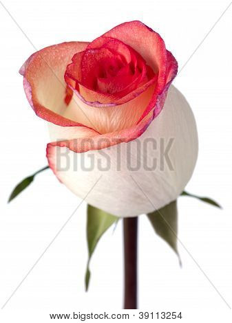 solitary bi color peach rose with pink and purple petal edges