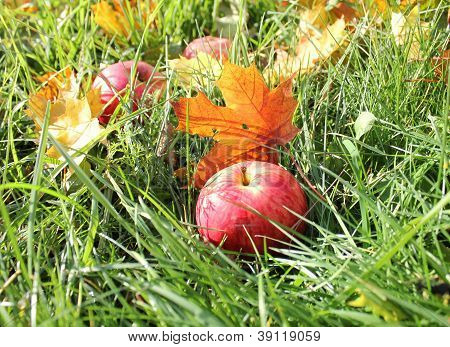 Fallen red apples and leaves in green grass