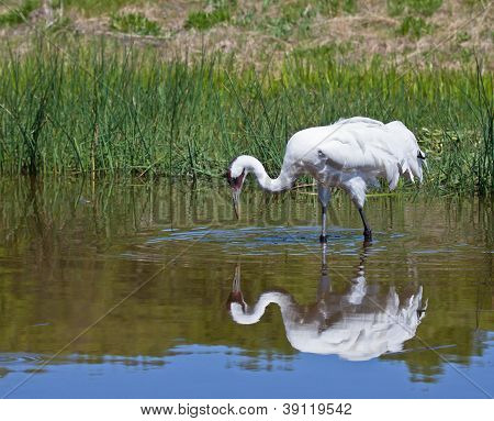 Whooping Crane with reflection