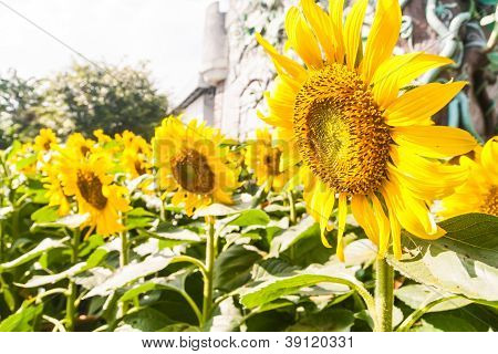 Group Of Sunflower