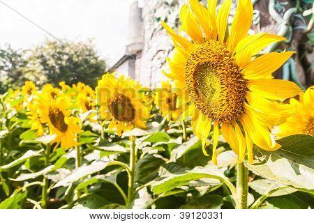 Group Of Sunflower