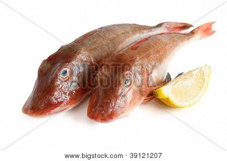 Two Tub Gurnard Fish