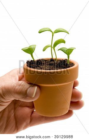 Hand Holding Small Pot With Seedlings