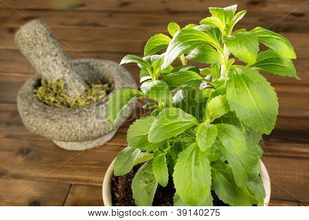Fresh potted stevia plant and dried leaves in a mortar