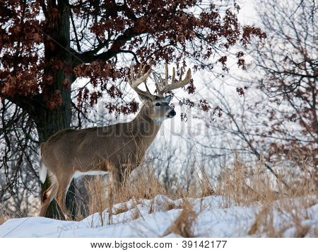 Whitetail deer profile