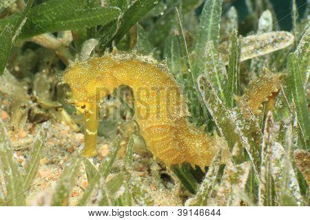 Hippocampus espinhoso