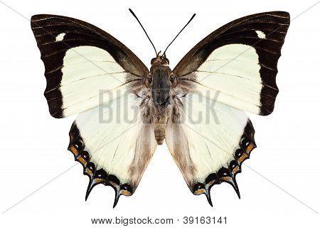 Butterfly Species Polyura Jalysus