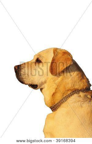 Dog Profile Over White