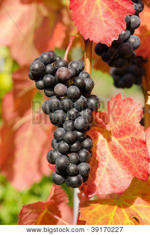 Red Vine Grapes Of Cabernet Dorsa