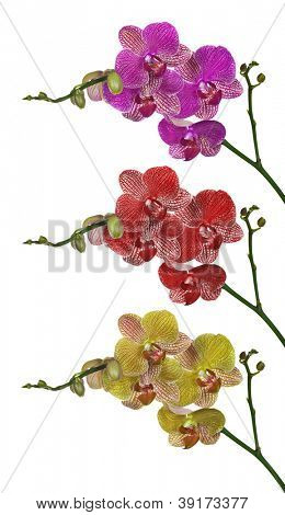 three color orchid flowers branches isolated on white background