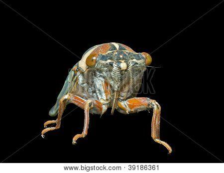 Cicada En Face