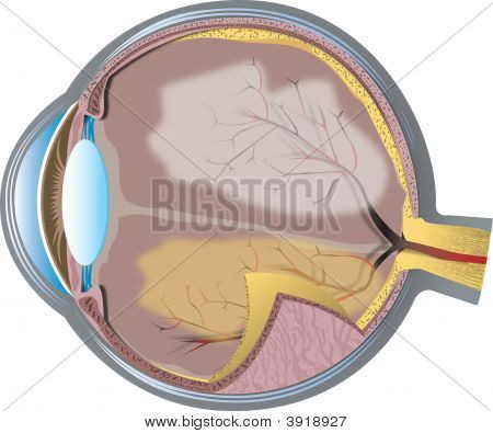 Eye Cross-Section