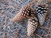 Pine Cones on Pine Needle Background