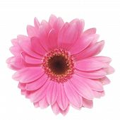 stock photo of gerbera daisy  - Pink gerbera daisy isolated on a white background - JPG