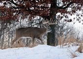 foto of buck  - Trophy whitetail deer buck walking along hillside - JPG