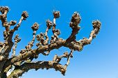 image of circumcision  - the first of a heavily pruned tree in winter - JPG
