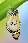 stock photo of chrysalis  - Butterfly on leaf after emerging from an chrysalis - JPG