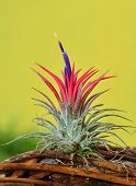 picture of tillandsia  - blooming Airplant Tillandsia ionantha on yellow background - JPG