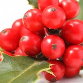 picture of aquifolium  - Details of a branch of Ilex aquifolium with red fruits isolated on white - JPG