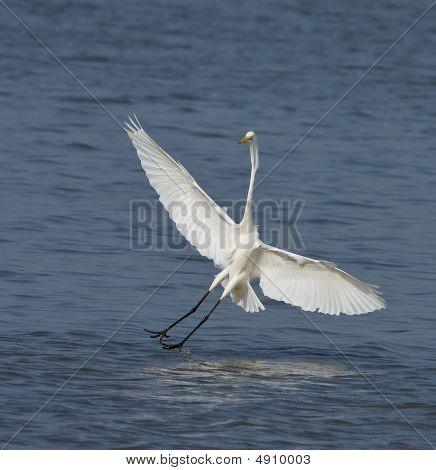 Great White Egret At Tendaba