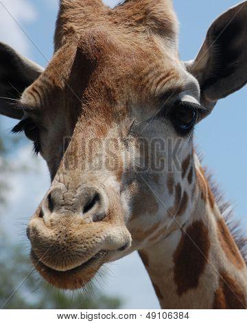 Extreme Close up Giraffe