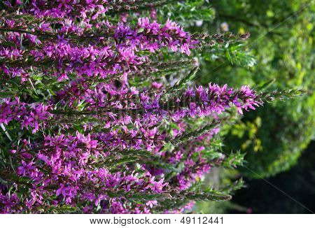 purple loosestrife flowers
