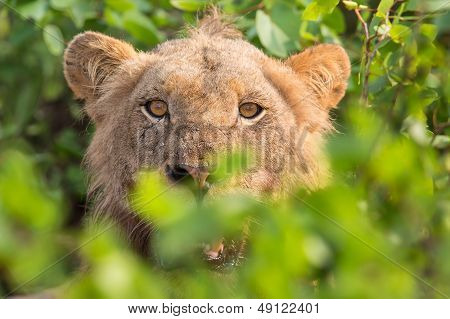 Angry Lion Stare Through Leaves Ready To Kill