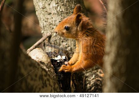 Cute Red Squirrel On A Tree