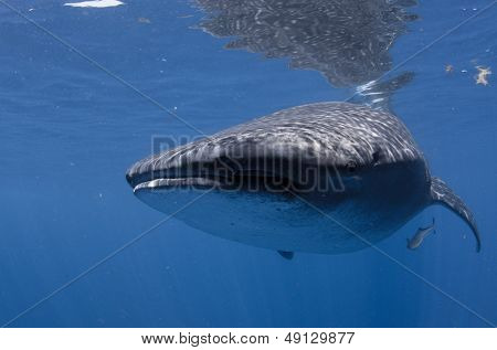 Whale shark with remora fish