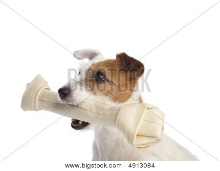 Jack Russell Terrier Holding A Bone