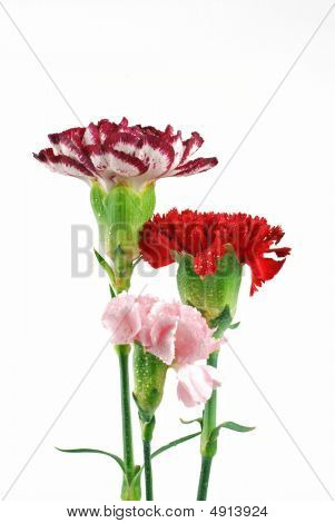 Multicolored Carnations