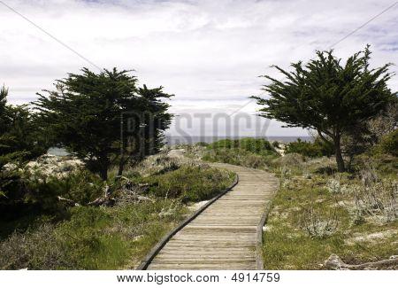 Boardwalk And Monterey Cypress (cupressus Macrocarpa)