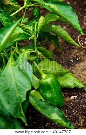 Chili Pepper Growing In A Garden