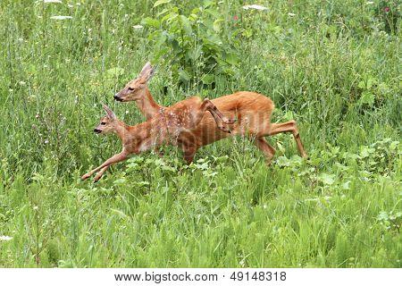 Roe Deer Doe And Calf Jumping