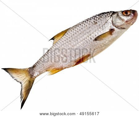 fresh fish roach isolated on white background