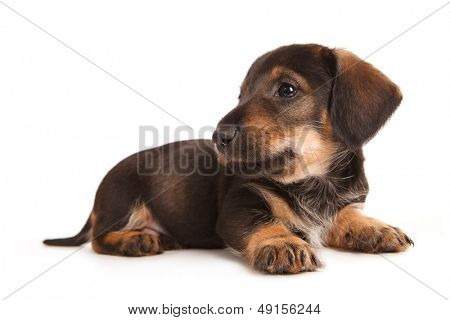 Puppy of dachshund. Isolated on white