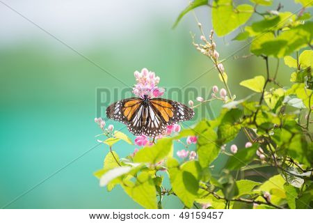Black Veined Tiger Butterfly On Pink Flowers