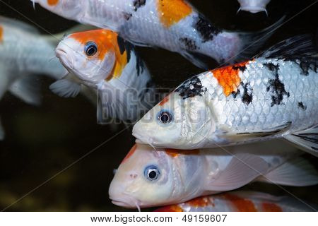 Colorful Koi Carp Fishes Close Up
