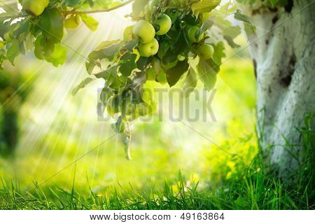 Orchard. Apple trees. Growing Organic Apples
