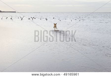 Rear view of mixed breed dog chasing birds at the ocean beach