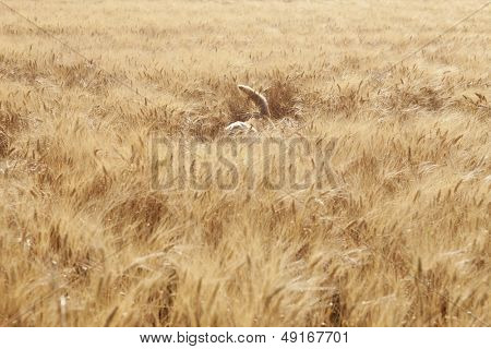 Dog walking in field of barley at Herne Bay; Kent