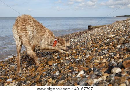 Full length of mixed breed dog on pebble beach in Herne Bay; Kent