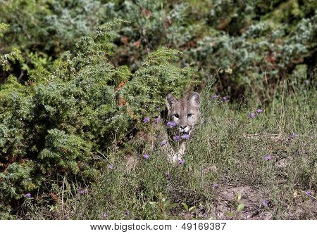 Cougar Hiding in the Underbrush