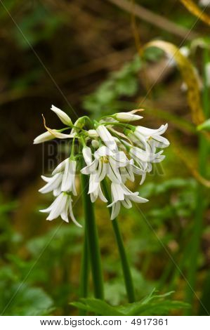 Three Cornered Leek Flowers