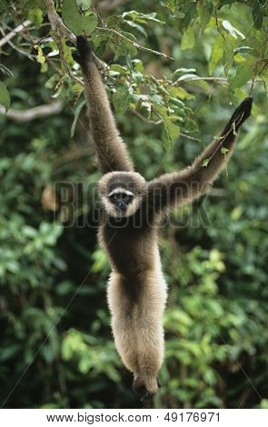 Squirrel Monkey hanging from tree