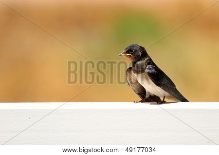 Young Martin (delichon Urbicum), A Migratory Passerine Bird Of The Swallow Family