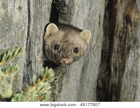 Weasel peeking from hollow tree